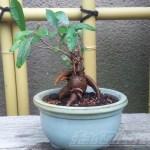 地中海風の「洋」テイストから盆栽風の「和」テイストへ… ガジュマルの華麗なる変身!【oyageeの植物観察日記】