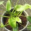 どーした?クッカバラ! 1鉢の葉色が悪くてグラつくぞ !? なら、植え替え決定!【oyageeの植物観察日記】