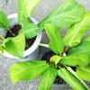 フィロデンドロンの植え替えの植え替え。こういうのを「二度手間」という…【oyageeの植物観察日記】