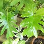 実際に並べてみれば、ますますわからない…「セローム」と「クッカバラ」の見分け方のポイント!【oyageeの植物観察日記】