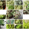 脇役的存在「セダム属・多年草」を増やしてみよう! まずは17品種を一気に茎挿しへ!【oyageeの植物観察日記】