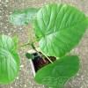 ウンベラータを挿し木シータ! ─初めての挿し木はお得意の水挿しで─【oyageeの植物観察日記】