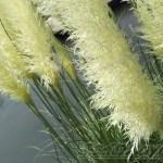 真っ白な穂がきれいな植物はパンパース? 違います、「パンパスグラス」です。【oyageeの植物観察日記】