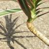 久々登場のドラセナ・コンシンネ! 久しぶりに見たら、根がすごいことになってた… 根フェチにはたまらんネ !?【oyageeの植物観察日記】