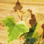 必殺仕立て人[第3話]─ くたっとアイビーに希望の光が… これはもしかして、もしかして、もしかしなくても?の巻 ─【oyageeの植物観察日記】