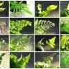 クイズ「この16種の植物の中で、仲間ハズレはどれでしょう?」|最近、〇〇フェチになってきたかも? なので、育ててるシダ類、一挙ご紹介!【oyageeの植物観察日記】