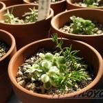 脇役的存在多年草17品種に「セダム・ミックス」を追加! そして、昨日の水やりの結果は?【oyageeの植物観察日記】