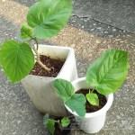 ウンベラータが増えてキータ!|ウンベラータの生長が止まりません!oyageeの笑いも止まりません!【oyageeの植物観察日記】