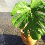 水挿しで太っとい根が出たモンステラを、ついに鉢植えへ! 鉢はタコツボ? こっ、これですか?【oyageeの植物観察日記】