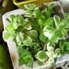 唯一まともな多肉の寄せ植えはコレ! しかし、また出た、白キノコ! キノコノコノコ、秋のキノコ祭りじゃん…【oyageeの植物観察日記】