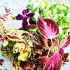 どげんかせんといかん植物がまだ残ってた… あれですよ、あれ! カラーリーフのコリウスです! これ、どうする?【oyageeの植物観察日記】
