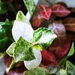 初雪カズラの紅白歌合戦! 葉が真っ白と真っ赤に分かれる差は何ですか?【oyageeの植物観察日記】