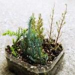 ゴールドクレストの挿し木 ─冬の陣!─|今の時期で「無理っしょ?」と思いますが、物は試しで、ダメ元で、一か八かで、とりあえずやってみます!【oyageeの植物観察日記】