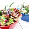 「春」を先取り!カラフルな鉢で多肉の寄せ植え・第7弾!|15株の多肉とセダムなどの多年草を植え込んだ鉢は、まさに「Rock'n Rouge」【oyageeの植物観察日記】