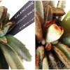カランコエ属「チョコレートソルジャー」と「シナモン」 名前はかわいいのに、見た目はグロい? 管理の要注意キーワードは、「脆い」「蒸れ」、そして「白い粉」【oyageeの植物観察日記】