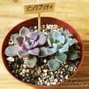 グラプトベリア属「ピンクプリティ」が、よりプリティーなピンク色になったのは果たしてどっち? 結果発表!【oyageeの植物観察日記】