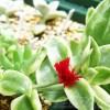 ベビーサンローズのどこがベビーやねん! だけど、きれいな花が咲くねんで!【oyageeの植物観察日記】
