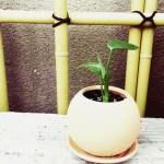 ダイソーのミニ観葉を100均グッズで楽しもう vol.16|100円ミニモンステラを新作ポットに植え込み、和盆栽風に飾ってみると?【oyageeの植物観察日記】