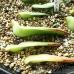 エボニーの葉挿しに挑戦中! 根も芽も出なく、首だけが曲がってしまうのは、エボニーの前世は「名菓ひよ子」だった から!?【oyageeの植物観察日記】