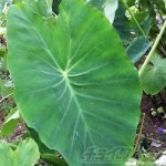 サトイモの葉とクワズイモの葉は瓜二つ! そのサトイモの葉でジェットコースターをしてるムシがいた!?|真夏のミステリーツアーvol.7【oyageeの植物観察日記】