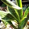 ついに、サンセベリア界の大御所「ローレンティー」の出番です! 丸1年、水やりしてなかった鉢を植え替えます!【oyageeの植物観察日記】