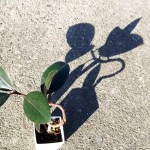 ゴムの木のワイヤー掛け、STEP2へ! まだまだ曲がってもらいましょ、「世界に一つだけのゴムの木」になる為に!【oyageeの植物観察日記】