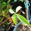 俳句・「春雨や~ パキラとアロエを、打たせよう~」 ついでに、金のなる木も~ だいぶ字余り…【oyageeの植物観察日記】