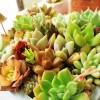 「乙女心、お前もか?」 セダム属の乙女心の葉までもがポロッと… 今回の「葉ポロ」現象の原因は、きのこ菌?【oyageeの植物観察日記】