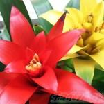 久々に一目惚れし、即買いしたこの植物は? この色! この形! Oh!トロピカル! この植物名は「グズマニア」【oyageeの植物観察日記】