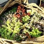 野生の蔓をもらったんで、リース作りに挑戦! 飾るのはカラフル多肉植物? それとも、脇役的存在多年草たち? クリスマスまで待てない!?【oyageeの植物観察日記】