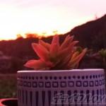 「燃えるような夕焼けは、台風北上の予兆」!? 真っ赤な夕日に染まる鉢に植わってるのは、大苗に育った多肉達です!【oyageeの植物観察日記】