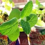 フルーツミントを〇〇缶に植え込んで… 緊急事態宣言が出たら、おうちでハーブの香りを楽しむ…って言うのもあり?【oyageeの植物観察日記】
