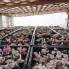 最強寒波には、最強防寒対策で大事な多肉たちを守れ! 100均の不織布シートは、今のところ最強防寒グッズかも?【oyageeの植物観察日記】