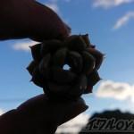 真冬の葉ポロ現象は茎だけが腐る、まるでフレンチクルーラー状態に!? 原因は、防寒対策を怠ったから? ─アルフレット編─【oyageeの植物観察日記】