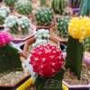 サボテンおばさんの執拗な質問攻撃に、oyageeタジタジ… 「サボテンも花が咲きます!」「咲くと思います…」「咲くと思いま、す、けどぉ…?」【oyageeの植物観察日記】