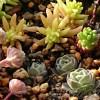 セダムが好きになったアロエのおやっさんの為に、セダムの寄せ植えを! 願いは2つ… あれとあれ! あれれ??【oyageeの植物観察日記】