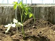 , Vše O Pěstování Rajčat: Na Záhoně, V Pytlích, Ve Skleníku, Výsadba A Hnojení