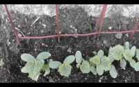 , Pěstování Okurek Stock Fotografie, Royalty Free Pěstování Okurek Obrázky
