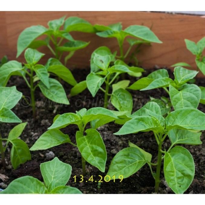 , Co Se Týká Pěstování Paprik