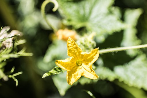 pěstování okurek