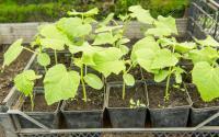 , Pěstování A Druhy Zeleniny