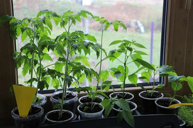 , Pěstování Rajčat Ze Semínek