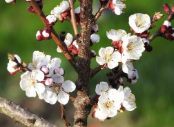Apricot blooms: Going, going . . . ? (Photo: Satynek)