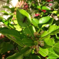 Hover flies on the Kaffir Lime - 18 October 2016 - 1