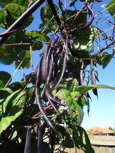Bean - Climbing - Purple King