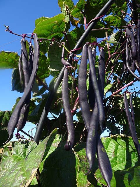 Bean - Climbing - Purple King