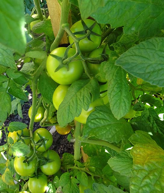 Tomatoes from the compost