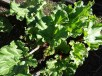 Rhubarb - 6 August 2017 - 2