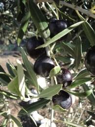 Navarre Olives - 2