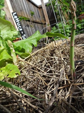 Asparagus coming up in amongst the lettuce...